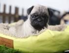 衡阳哪里有纯种八哥犬 衡阳鹰版八哥多少钱 哪里卖便宜八哥出售