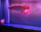 红龙鱼,转给有缘人