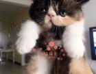 南京加菲猫多少钱 南京哪里出售的加菲猫幼犬价格较便宜