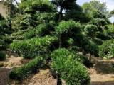 罗汉松盆景造型树 造型罗汉松树苗价格