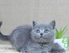 宠物猫活体 纯种英国短毛猫 英短 银渐层 英短 蓝