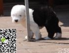纯种古代牧羊犬出售 憨厚卖萌犬 白头通背