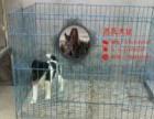 苏氏犬业出售猎狐梗免费提供学习饲养知识