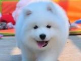 重庆哪家店信誉好 重庆哪里出售萨摩耶犬