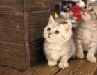 青岛哪里有短毛猫卖 青岛短毛猫价格 青岛哪里卖健康的短毛猫
