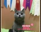 可爱漂亮的英短蓝猫小美女--《思晴名猫坊》