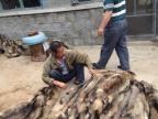 貉子皮销售价格|河北省特种皮毛养殖基地
