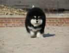 精品(阿拉斯加幼犬)出售,红色黑色灰色均有,保健康