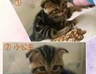出售家里繁殖美短虎斑猫幼崽