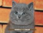 大包子脸蓝猫活体猫咪异国短毛猫纯种宠物猫咪包健康