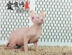 上海哪里有纯种无毛猫猫舍 上海爱宠网 签协议保证