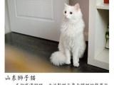 (真心求领养贴)两只纯白狮子猫找新家