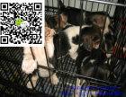 济南哪里有卖比格犬 济南比格犬多少钱 济南比格犬图片