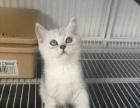 出售纯家庭繁殖纯种英短渐层短毛猫 无病无癣包健康