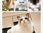 昆山布偶猫精品