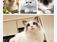 上海卷毛猫价格