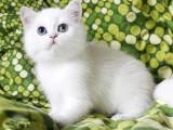 英短银渐层幼猫英国短毛猫矮脚小猫幼崽活体宠物猫