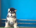 诚信犬舍一纯种阿拉斯加幼犬一保健康半年一保养活一送用品