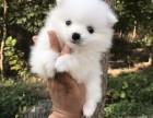 出售两个月左右的球形白博美幼犬
