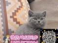 英短蓝猫 渐层 蓝白 美短虎斑 起司 加白(包纯种健康)