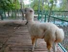 珠海有羊驼出租神兽羊驼矮马租赁