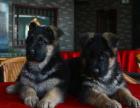 德国牧羊犬一只多少钱 哪里可以买到德国牧羊犬