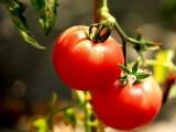 王黑旦西红柿 水果西红柿批发 泾阳西红柿销售