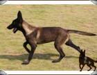 清远哪里出售马犬,现在小马犬多少钱,怎么驯养马犬