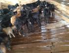 哪里有黑山羊种母羊卖吗
