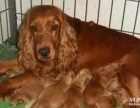 家养纯种可卡幼犬出售毛色好,疫苗驱虫已打好,包健康
