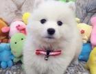 纯种微笑天使萨摩耶幼犬赛级犬后代保健康可签