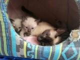 自家养的暹罗小猫