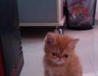 【包养活签协议】家养的一窝可爱的加菲猫低价出售