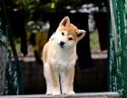 大型繁殖基地出售纯种柴犬 保证健康 签订协议