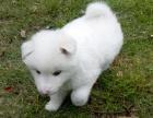 咱卖狗要对得起良心,卖的是品质,高品质银狐犬
