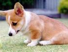 r n r n柯基犬价格 柯基犬多少钱一只 纯种柯基犬幼犬专
