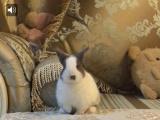 精品家养侏儒兔性格温顺聪明健康