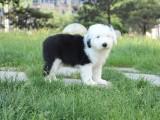 银川纯种古代牧羊犬价格,银川哪里能买到纯种古代牧羊犬