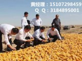河北收购玉米 民发收购玉米 实力厂家