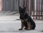 自家大狗生了一窝德国牧羊犬黑背可以上门看狗父母