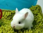 暹罗侏儒兔银貂侏儒兔喜马拉雅侏儒兔宠物兔