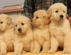 上海哪里有免费领养家养的金毛犬宝宝 自家大狗生的公母都有