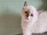 布偶猫 3000元