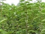 苹果苗[梨树苗]枣树苗[樱桃苗]柿子苗