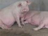 猪场内外三元小猪苗 母猪仔猪苗