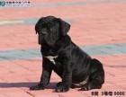 你买犬我卖犬 以犬会友 出售杜高犬 卡斯罗犬价格便宜