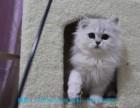 保定哪里有金吉拉猫卖 猫舍直销 健康活泼 包纯种 保养活