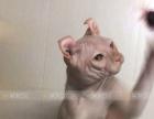 斯芬克斯无毛猫活体宠物猫纯白卷耳精灵金眼大公配种借配