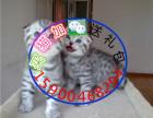 自家猫舍繁育一窝折耳包纯种 包健康