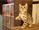 可以上门挑选自家养殖种猫繁殖纯种健康孟加拉豹猫弟弟妹妹都有